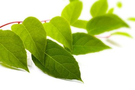 liana: green liana plant isolated on white background