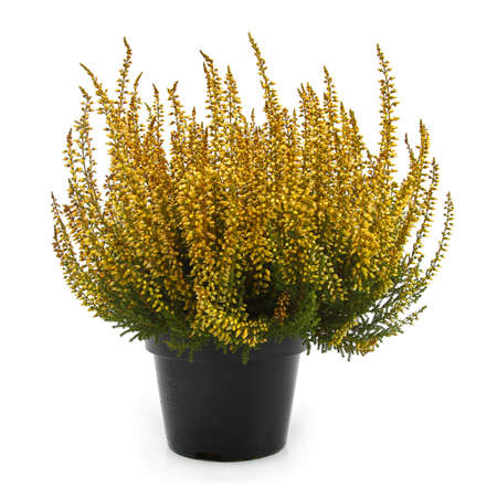 pot of yellow heather isolated on white photo