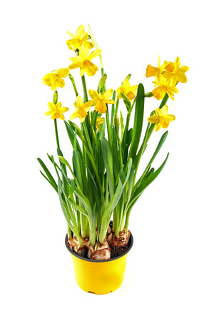 yellow daffodil in pot isolated on white photo