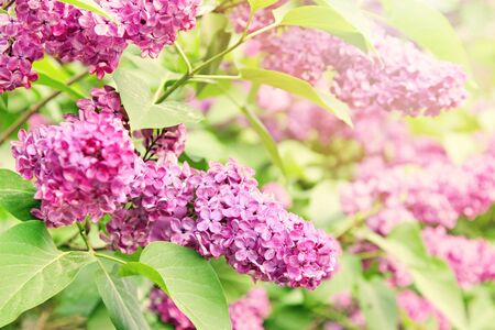 purple lilac: purple lilac branch