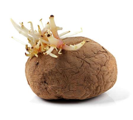 sapless: patata sapless con i germogli isolati su bianco Archivio Fotografico