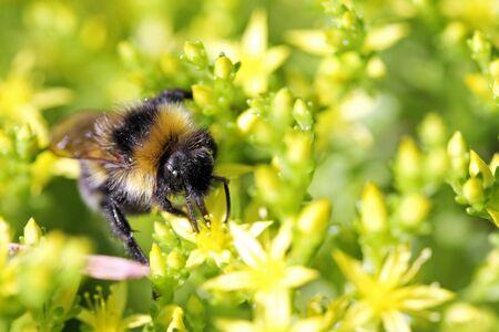 insecto: tiro macro de abeja recoge néctar de las flores