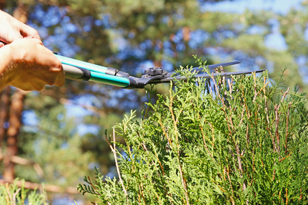 pruning scissors: gardener cutting a hedge with a pruning scissors Stock Photo