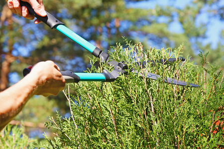 pruning scissors: cutting a hedge with garden shears