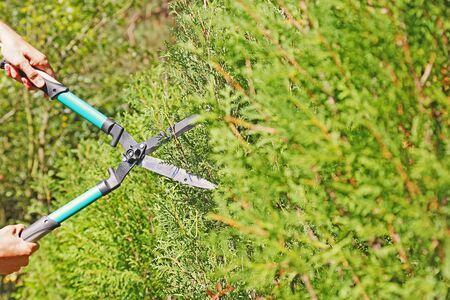pruning scissors: gardener trimming a hedge with pruning scissors