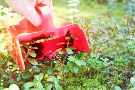 collecting: collecting berries in forest with comb picker