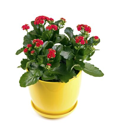flowers in vase: kalanchoe flower with red blossoms isolated on white