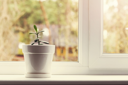 plant in pot: small indoor crassula plant in pot on window sill Stock Photo