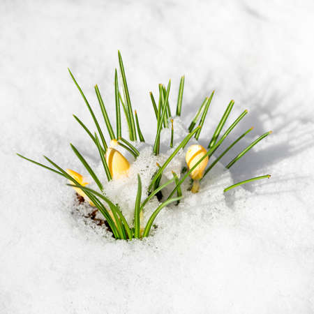 covered in snow: yellow spring crocus flowers covered with snow
