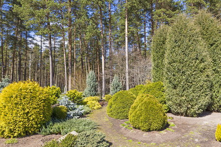 yellow flower tree: garden design with variety of conifer plants