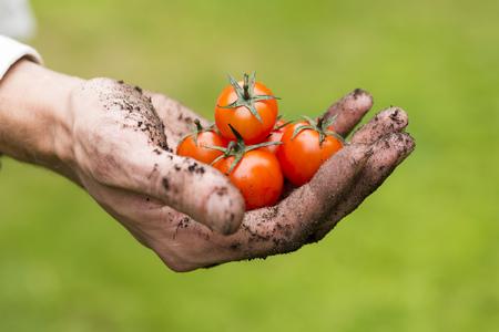 tomate: éco agriculture - tomates crues fraîches dans une main de jardinier Banque d'images