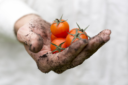 dirty: farmer hand full of fresh cherry tomatoes Stock Photo