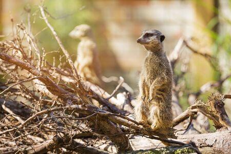 meerkat suricate