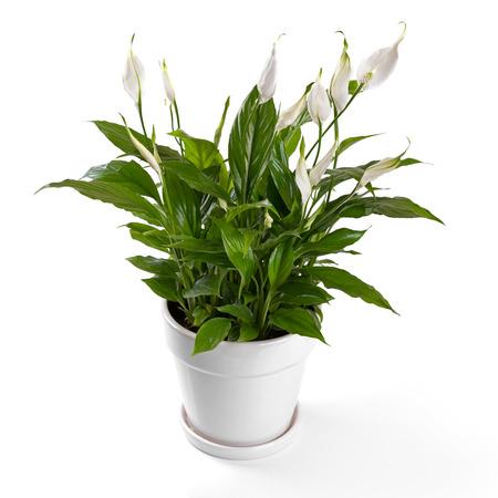 흰 배경에 고립 화분 용의 spathiphyllum 꽃 스톡 콘텐츠