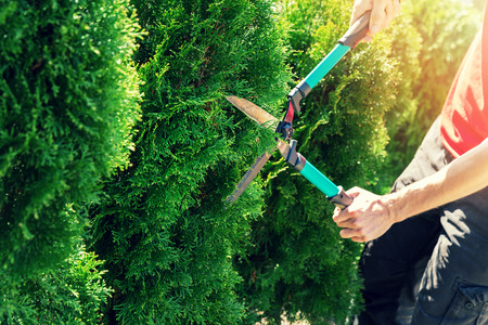 cutting thuja tree with garden hedge clippers Stok Fotoğraf