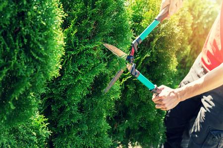 Thuja-boom knippen met tuinheggenschaar Stockfoto - 100317527