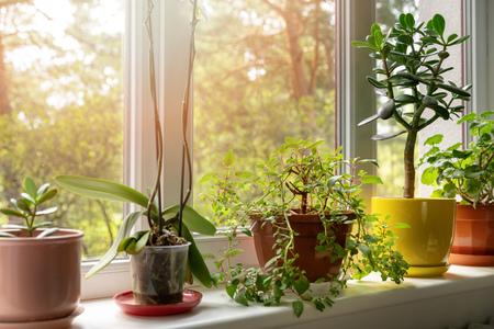 Topfpflanzen auf der sonnigen Hausfensterbank