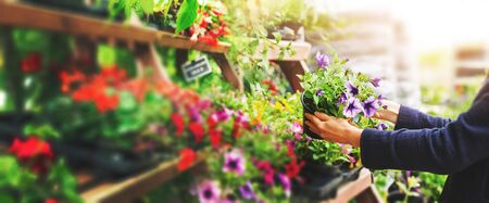 woman pick petunia flower pot from shelf at garden plant nursery store. copy space Stock Photo