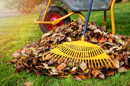 raking fallen autumn leaves in the garden on sunny fall day. leaf pile and rake