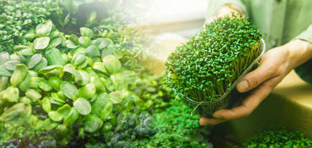 microgreens - fresh organic bio sprouts. banner copy space