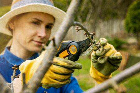 woman cut cherry tree branch with pruning shears. spring gardening Standard-Bild