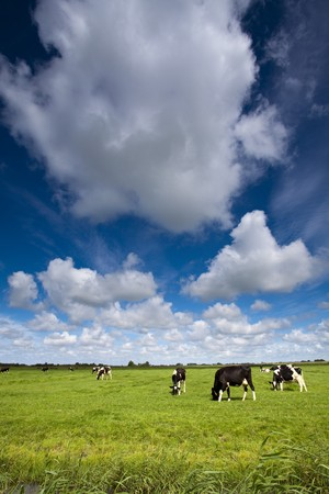 Cows on green meadow photo
