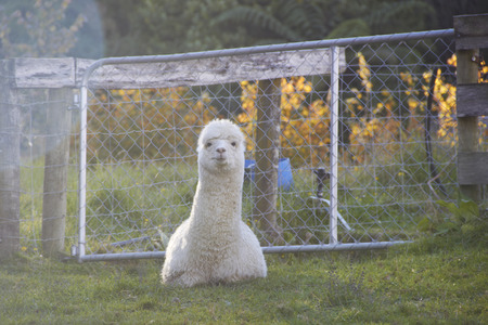 Alpaca is sitting and looking at the camera at the farm