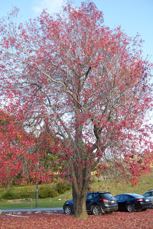 Red maple tree at New Zealand