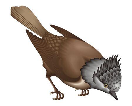 parus: Totmit Parus cristatus Linnaeus  Illustration