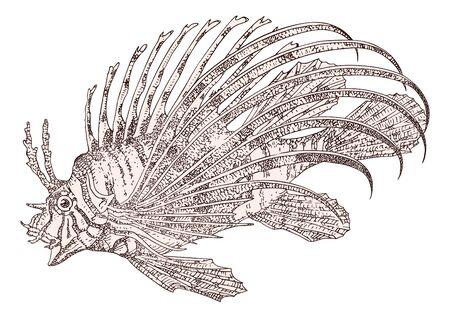 volitans: Fish zebra Pterois volitans vector Illustration
