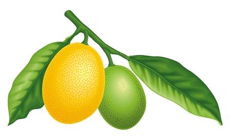 citrus tree: Lim�n