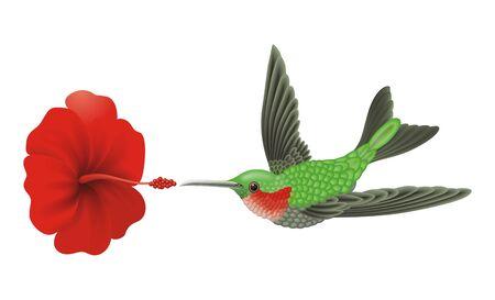 Green hummingbird Illustration