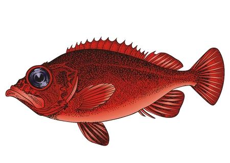big fish: Sea grouper  Illustration