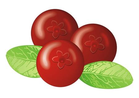 whortleberry: Cowberry  Illustration