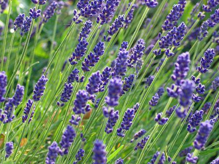 Lavender flowers in a field in France