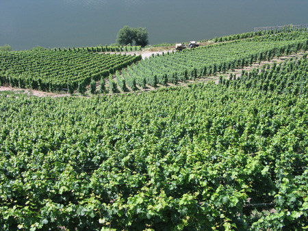 Vineyards grapes fields on the hills in the Mosel area Germany Stock Photo
