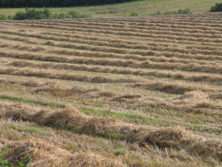 hay field: Hay campo in Fyn Danimarca