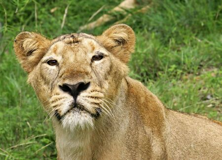 Lioness in the jungle close frontal view