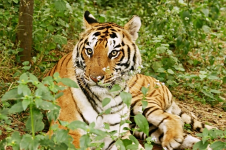 tiger hunting: Royal Bengal Tiger in the jungle India Stock Photo