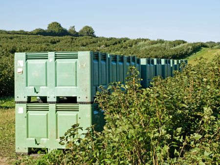 blackberry bush: Crates in the field during harvest of blackberries Stock Photo