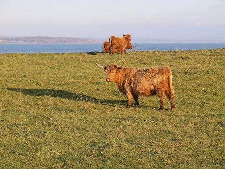 scotish: Scotish Highland Cows in lush green field