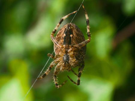 arachnophobia animal bite: Spider working  on a web net in macro view