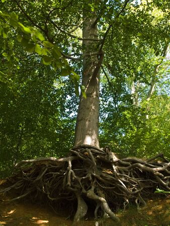 deep roots: Vertical Tree with deep twisted spreading roots in a forest