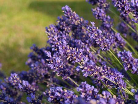 Lavender flowers in a field in France photo