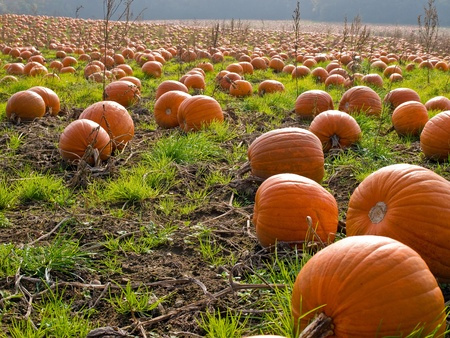 toppa: Immagine di sfondo perfetto campo Halloween Pumpkin Patch Archivio Fotografico