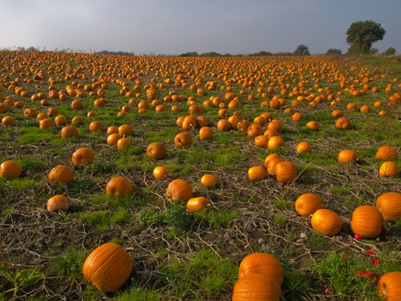 Halloween Pumpkin Patch field perfect background image