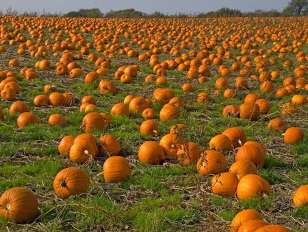 pumpkin patch: Halloween Pumpkin Patch field perfect background image