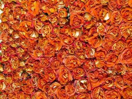 rosas naranjas: Hermoso rojo y naranja rosas Floral naturaleza jardinería fondo Foto de archivo