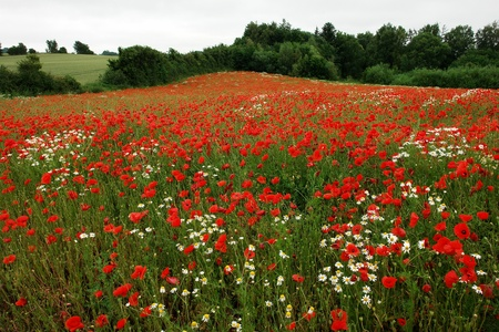 opium poppy: Field of beautiful blooming poppies poppy flowers perfect nature background