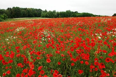 poppy field: Veld van mooie bloeiende papaver papaver bloemen perfect aard achtergrond
